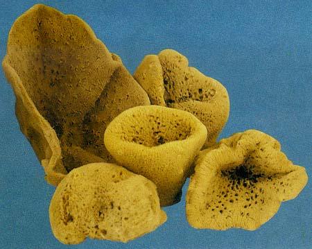 cbbccfcf1f3 Esponjas  ¿El oro de Kalymnos