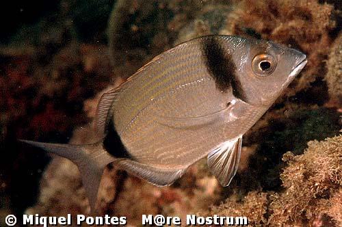 Mundo aquario peces del mediterraneo mallorca - Fotos de peces del mediterraneo ...